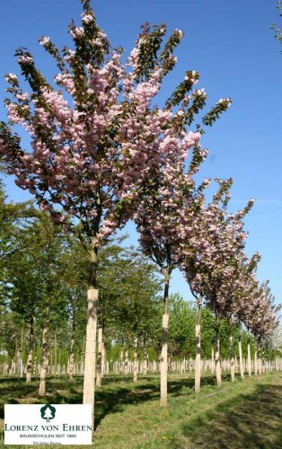 Cerisier du Japon © Lorenz von Ehren