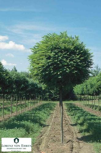 6 Arbres Qui Sont Vraiment Adaptes Pour Un Petit Jardin