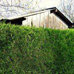 Comment se cacher de ses voisins au jardin for Cout haie jardin