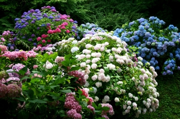 Massif d'hortensia - ©Frans16611/Flickr (Licence Creative Commons)