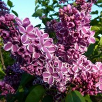 Lilas 'Sensation' ©Wundoroo - Flickr (Creative Commons)