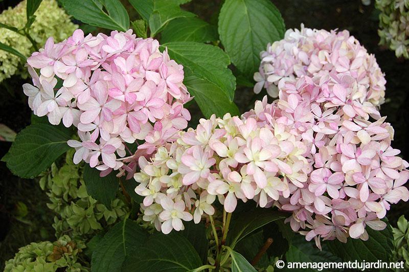 Journ es des plantes d 39 automne 2013 courson partie 2 - Faut il couper les fleurs fanees des hortensias ...