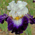 Iris 'Barbe Noire' ©Cayeux