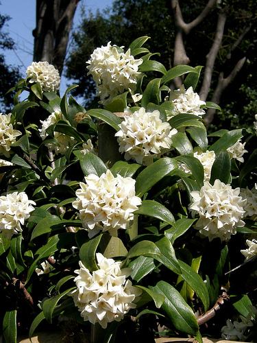 Top 10 des plantes odorantes pour le jardin for Arbuste daphne odora aureomarginata