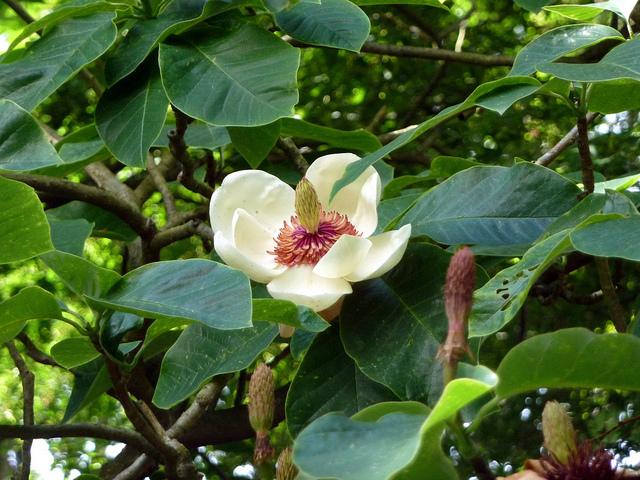 Magnolia x wieseneri©Wlcutler-Flickr (Creative Commons)