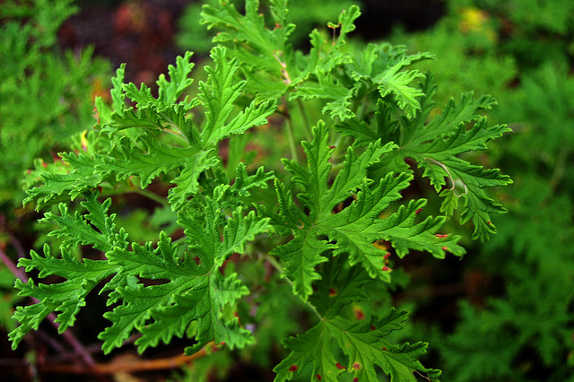 Pelargonium 'Citronella' ©Raeallen-Flickr (Creative Commons)