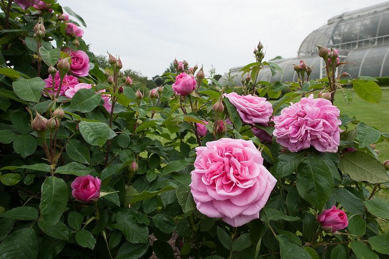 fleurs vivaces odorantes
