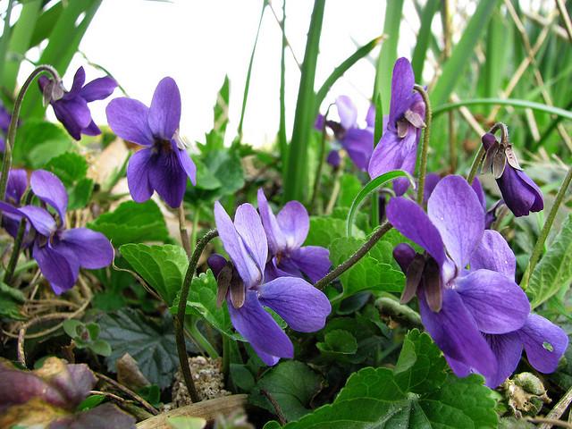 Viola odorata ©Tico-Flickr (Creative Commons)