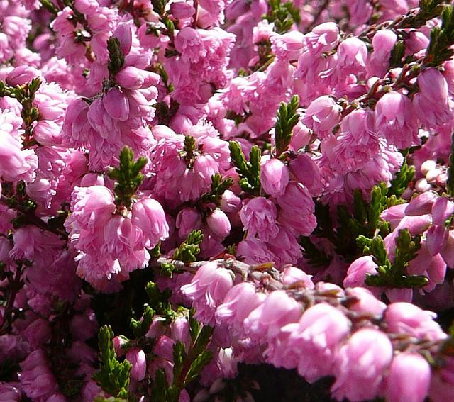 Calluna vulgaris 'J.M. Hamilton' ©KingsbraeGarden-Flickr (Creative Commons)