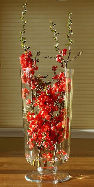 Cognassier du Japon (Chaenomeles) en vase ©Jacki Dee-Flickr (Creative Commons)