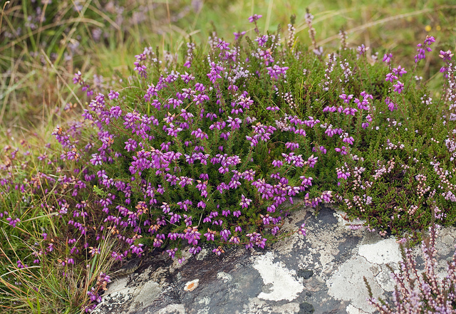 Erica cinerea ©JohnGame-Flickr (Creative Commons)