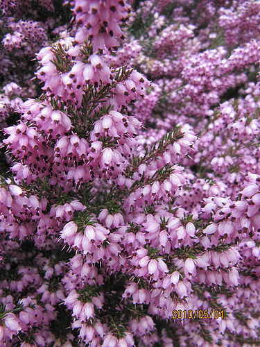 Erica x darleyensis 'Arthur Johnson' ©Wallygrom-Flickr (Creative Commons)
