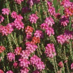 Erica tetralix ©NaturalEngland-Flickr (Creative Commons)