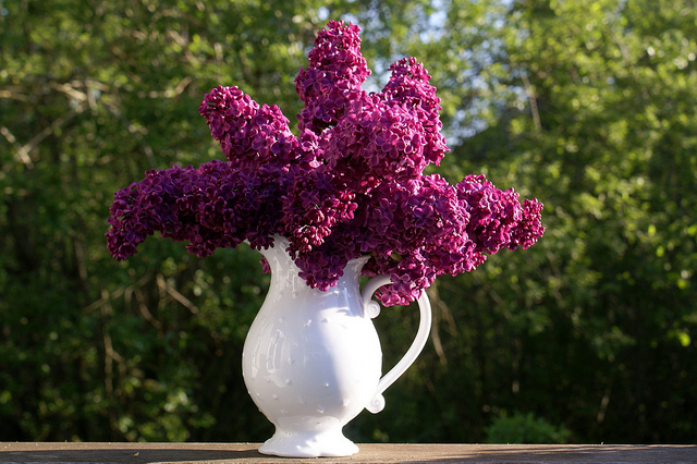 Lilas en bouquet ©Jacki Dee-Flickr (Creative Commons)