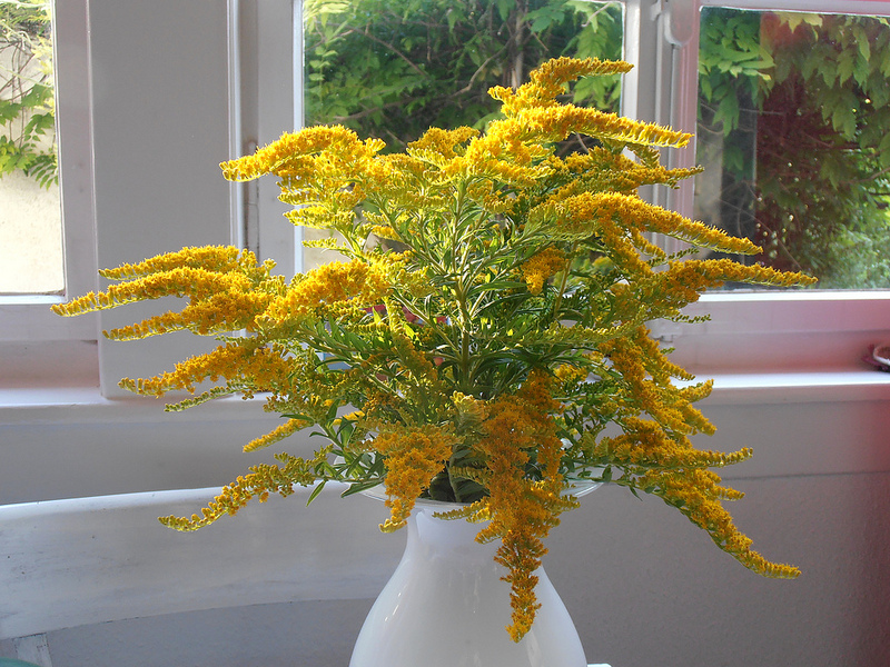 Verge d'or en vase ©Storebukkebruse-Flickr (Creative Commons)