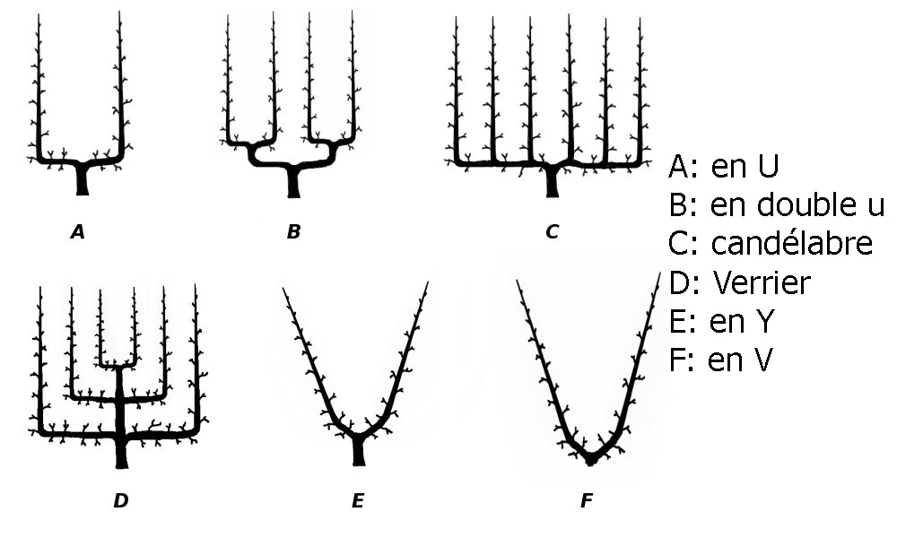 Différentes formes de palmettes pour arbres fruitiers ©Wikipedia (Creative Commons)