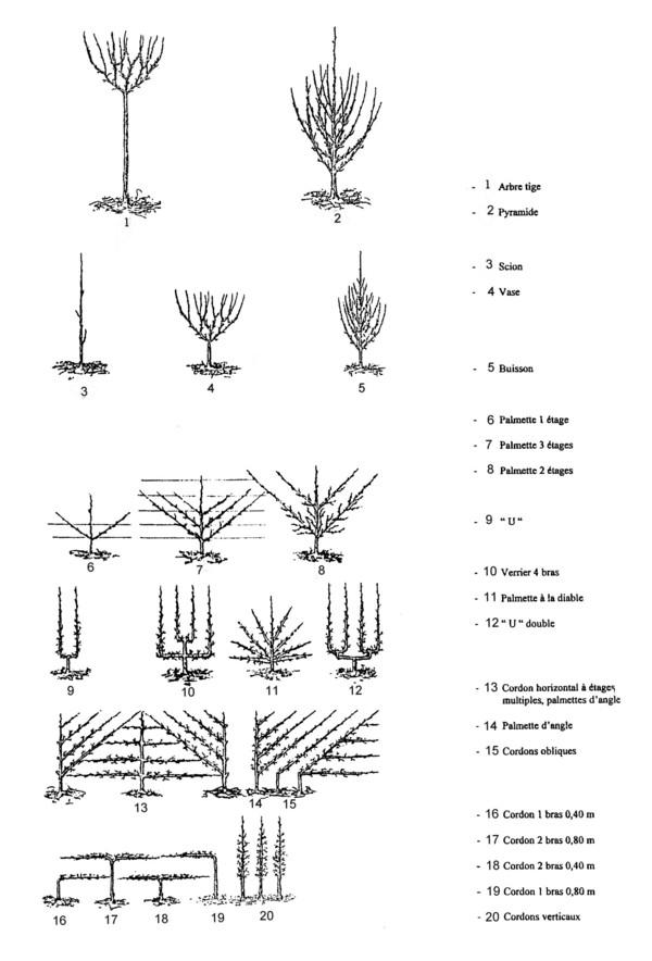 Différentes formes d'arbres fruitiers ©Wikipedia (domaine public)