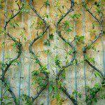 Palmette en U avec des branches en zig zag ©JoyWeeseMoll-Flickr (Creative Commons)