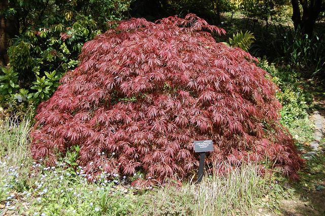 Acer palmatum 'Dissectum Garnet' ©FarOutFlora-Flickr (Creative Commons)