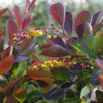 Berberis thunbergii 'Atropurpurea' ©Twining Valley Nurseries-Flickr (Creative Commons)