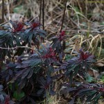 Euphorbia amygdaloides 'Purpurea' ©KlasseIm Garten-Flickr (Creative Commons)