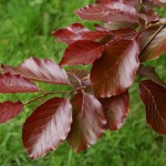 Fagus sylvatica 'Purpurea' ©Rudolf Schafer-Flickr (Creative Commons)
