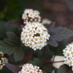 Physocarpus opulifolius 'Diablo' ©FDRichards-Flickr (Creative Commons)