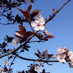 Prunus cerasifera 'Pissardii' ©Parroquial-Flickr (Creative Commons)