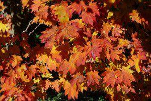 Acer japonicum 'Vitifolium' ©chipmunk_1-Flickr (Creative Commons)