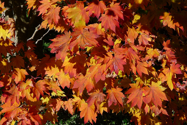 Acer japonicum 'Vitifolium' ©chipmunk_1-Flickr (Creative Commons)
