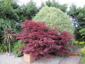 Acer palmatum 'Atropurpureum' ©Leonora Enking-Flickr (Creative Commons)