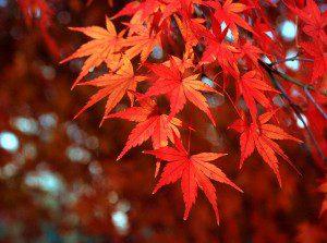 Acer palmatum ©Autan-Flickr (Creative Commons)