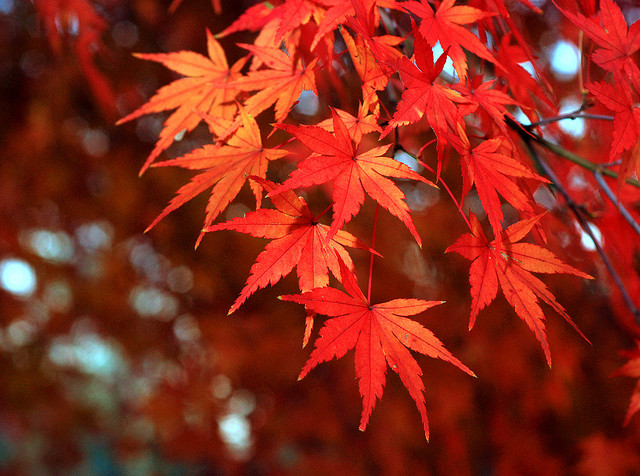 Acer palmatum ©Autan-Flickr (Creative Commons)