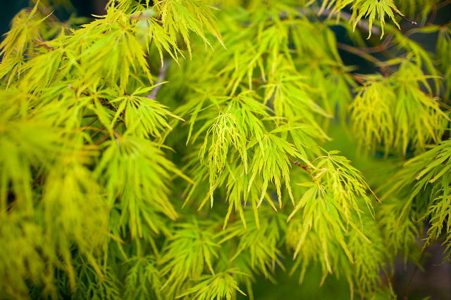Acer palmatum 'Dissectum' ©Wei Hang Chua-Flickr (Creative Commons)