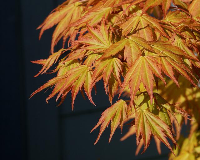 Acer palmatum 'Orange Dream' ©jacki-dee-Flickr (Creative Commons)