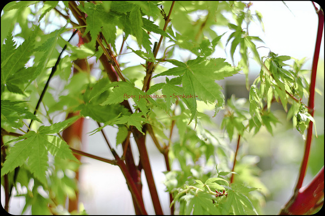 Acer palmatum 'Sango Kaku' = 'Senkaki' ©Schlossherr Helmut-Flickr (Creative Commons)