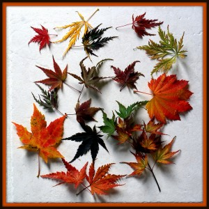 Feuilles d'érables du Japon ©jacki-dee-Flickr (Creative Commons)