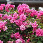 Roses anciennes ©T Kiya-Flickr (Creative Commons)