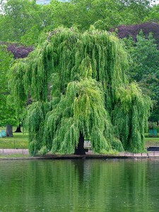 Salix babylonica ©Jdforrester-Wikimedia (Creative Commons)