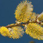 chatons de Salix caprea ©Jurgen Mangelsdorf-Flickr (Creative Commons)