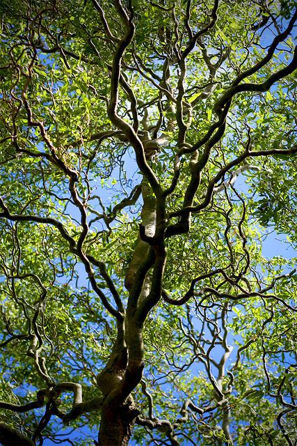 Salix matsudana 'Tortuosa' ©Urban Combing-Flickr (Creative Commons)
