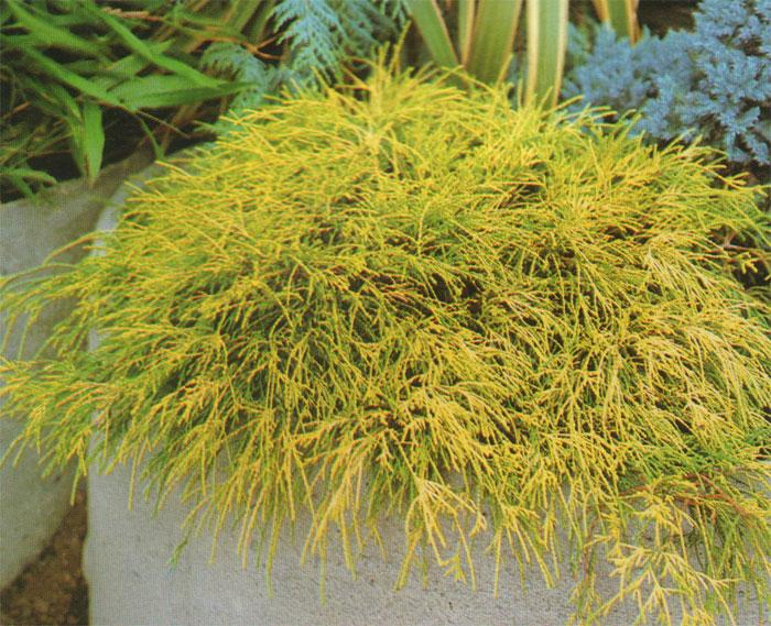 Chamaecyparis pisifera 'Sungold' ©Rasadnikmanojlovic.com