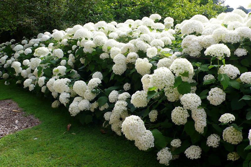 Les hortensias supportent les situations ombragées ©inconnu