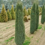 Juniperus communis 'Sentinel' ©Katalog-rostlin.cz
