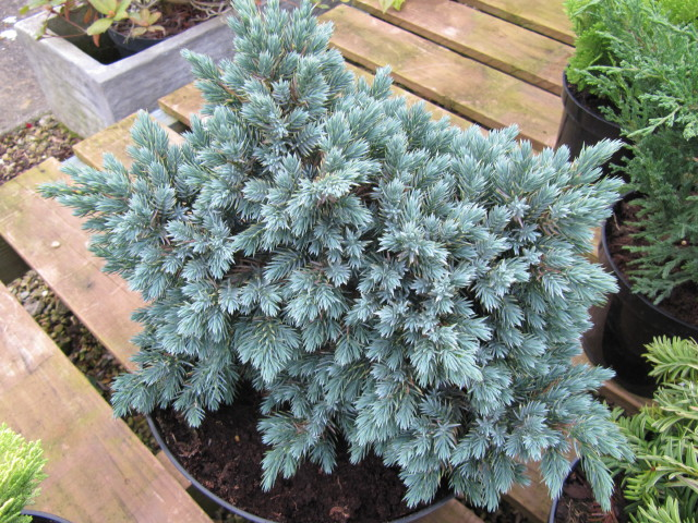 Juniperus squamata 'Blue Star' ©Leonora Enking-Flickr (Creative Commons)