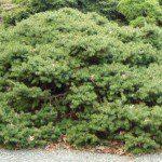 Picea abies 'Maxwellii' ©Richsfoxwillowpines.com