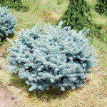 Picea pungens 'Glauca Globosa' ©Twinspringsnursery.com
