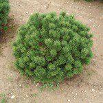 Pinus mugo 'Mops' ©Katalog-rostlin.cz