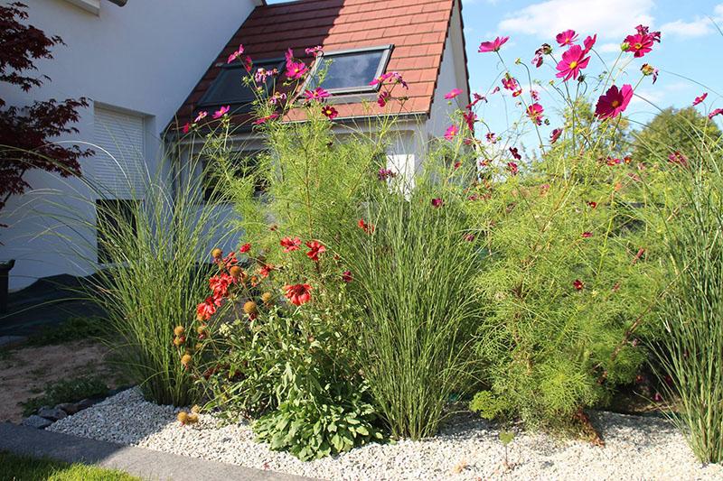 Alternance de cosmos (plante annuelle) et de miscanthus (graminée vivace) ©Eden-design.fr