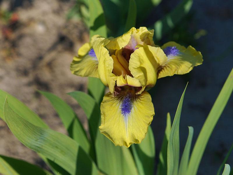 Les iris pas uniquement pour les milieux humides - Iris ne fleurissent pas ...